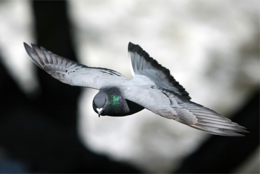 No doubt that pigeon is flying away from some urgent task that needs its attention. iStockphoto/Thinkstock