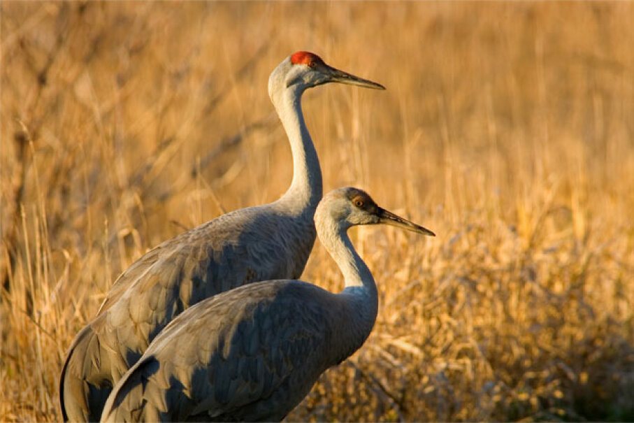 We (sandhill cranes) go together like ramma lamma lamma ... iStockphoto/Thinkstock