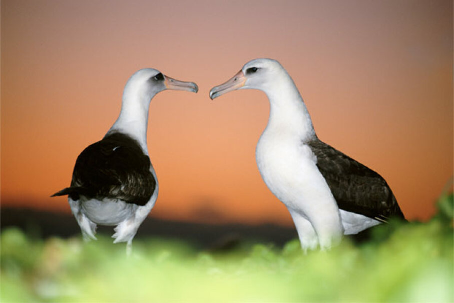 The Laysan albatross motto: We keep you guessing. Kevin Schaefer/Stockbyte/Thinkstock