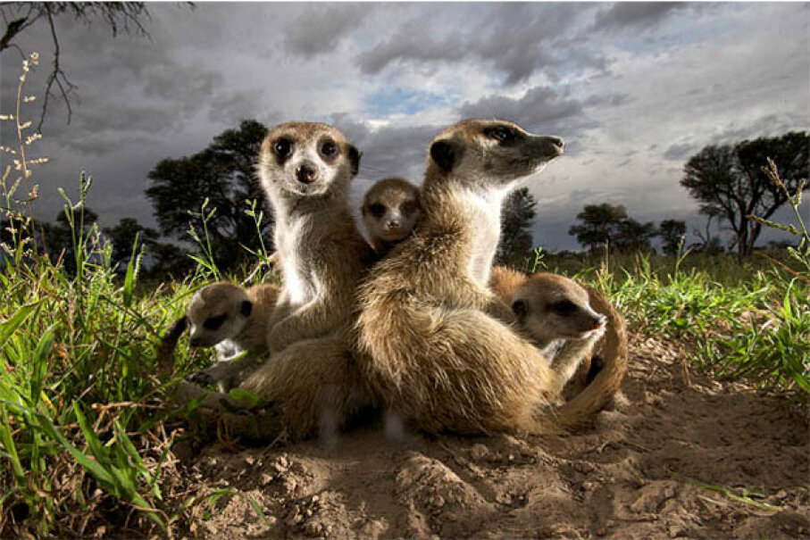 These adult meerkats don't seem to be seizing the teaching moment. DCL