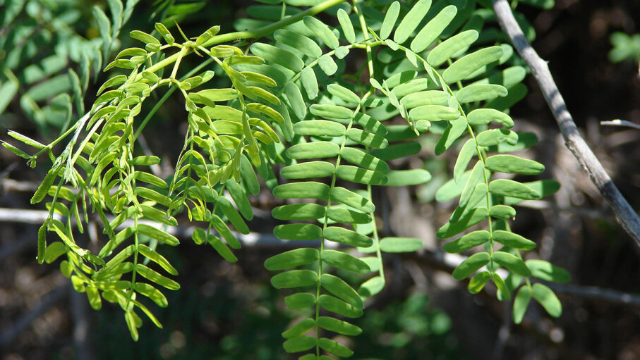 The Prosopis juliflora shrub, an invasive species in Africa, is a type of mesquite. Forest and Kim Starr/Flickr/CC BY 2.0