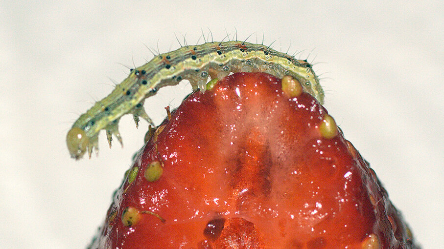 A Helicoverpa armígera caterpillar photographed atop a strawberry. New research observed the similar Spodoptera exigua caterpillars turning to cannibalism after encountering a certain compound in tomato plant leaves. Martius/Flickr/CC BY-2.0