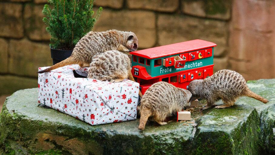 meerkat advent calendar