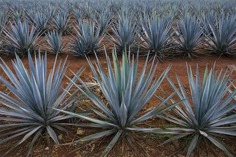 These blue agaves grow in a plantation for tequila production in Arandas, Mexico. Thanks to a winning international sales strategy, tequila has ceased to be a 'bricklayer's drink' in Mexico and has become fashionable all over the world. Ronaldo Schemidt/AFP/Getty Images