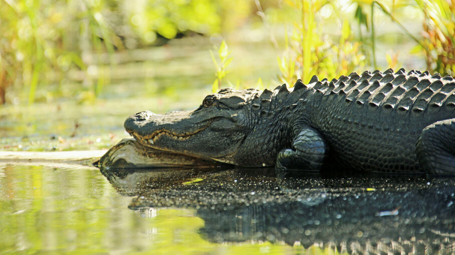 Pretty much any animal is subject to ambush by an American alligator -- even sharks. Daniela Duncan/Getty Images