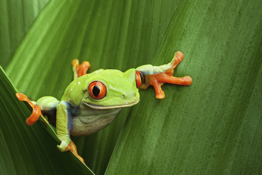 "Did you know that many tree frogs freeze in the winter and ""spring"" back to life in the warmer months? That's just one of our amazing animal facts. See more amphibian pictures. iStockphoto/Thinkstock"