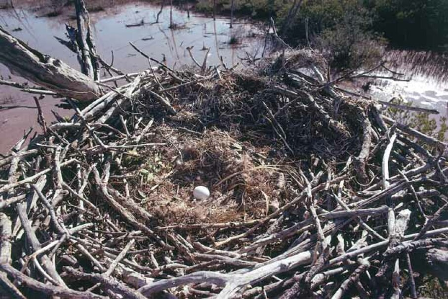 A bald eagle egg lies in this huge nest in the Everglades National Park in Florida. Jeff Foott/Discovery Channel Images/Getty Images