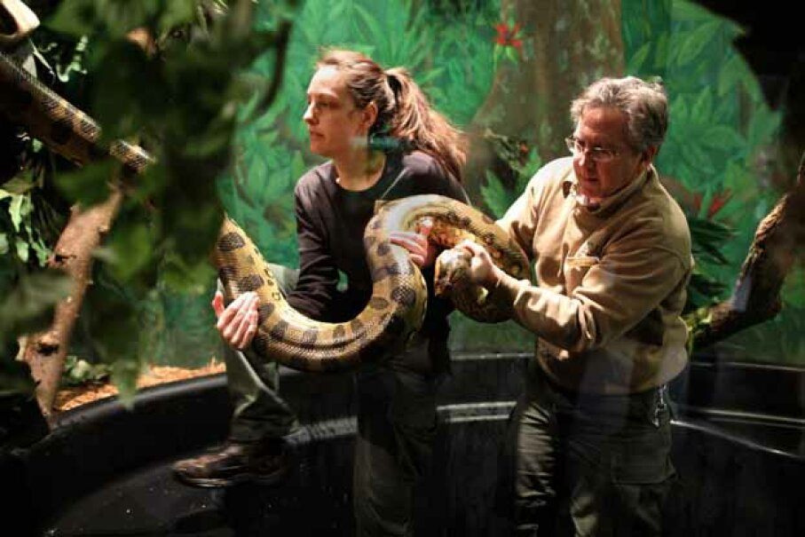 Franklin Park Zoo's male green anaconda, which is 11 years old, 12 feet long and weighs a relatively light 50 pounds, gets a routine checkup from its zookeepers in Boston. Jonathan Wiggs/The Boston Globe via Getty Images