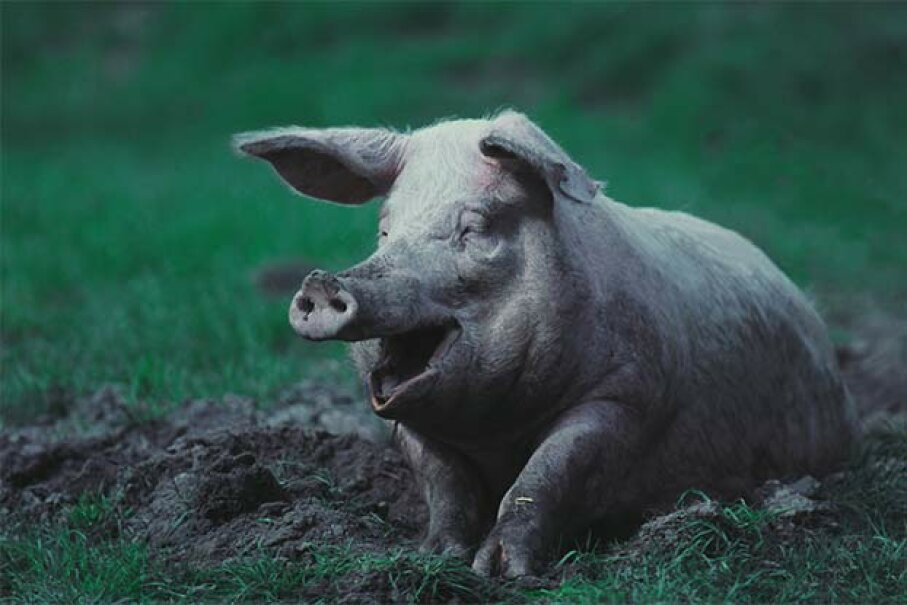 What's that expression: 'happy as a pig in mud'? Pigs have few sweat glands so the mud keeps them cool. They're clean animals otherwise. John Foxx/Stockbyte/Thinkstock