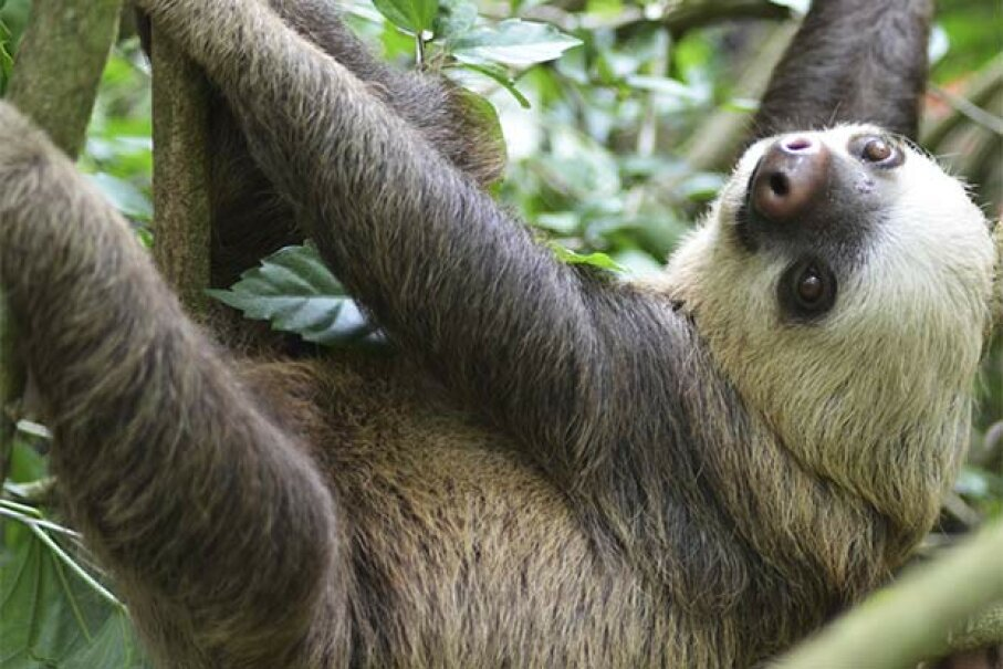 Sloths aren't lazy; they've discovered it's smarter to lie still and camouflage rather than attract the attention of predators with movement. allinvisuality/iStock/Thinkstock