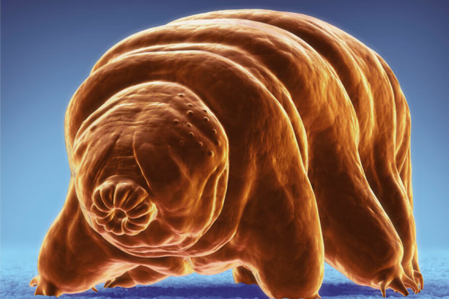 Isn't that the cutest microscopic invertebrate you've ever seen? Tardigrades are also way tougher than you'll ever be. © Science Picture Co./Corbis