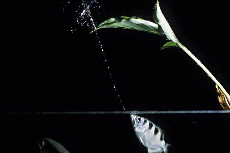 The archerfish fires away with its impeccable aim. A. & J. Visage/Photolibrary/Getty Images