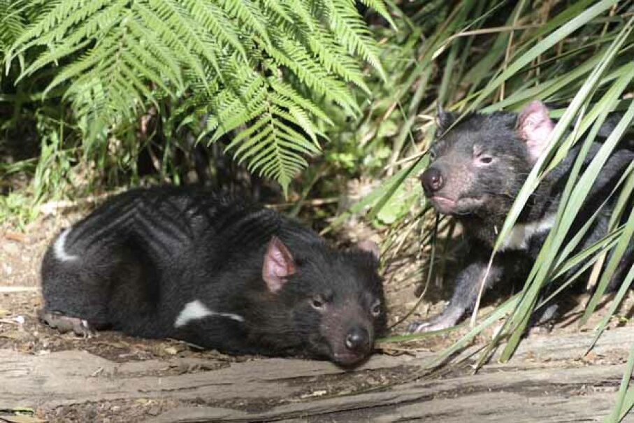 Despite its cartoon reputation for being a whirling dervish, a Tasmanian devil is actually slow and placid. Except at mealtime. iStock/Thinkstock