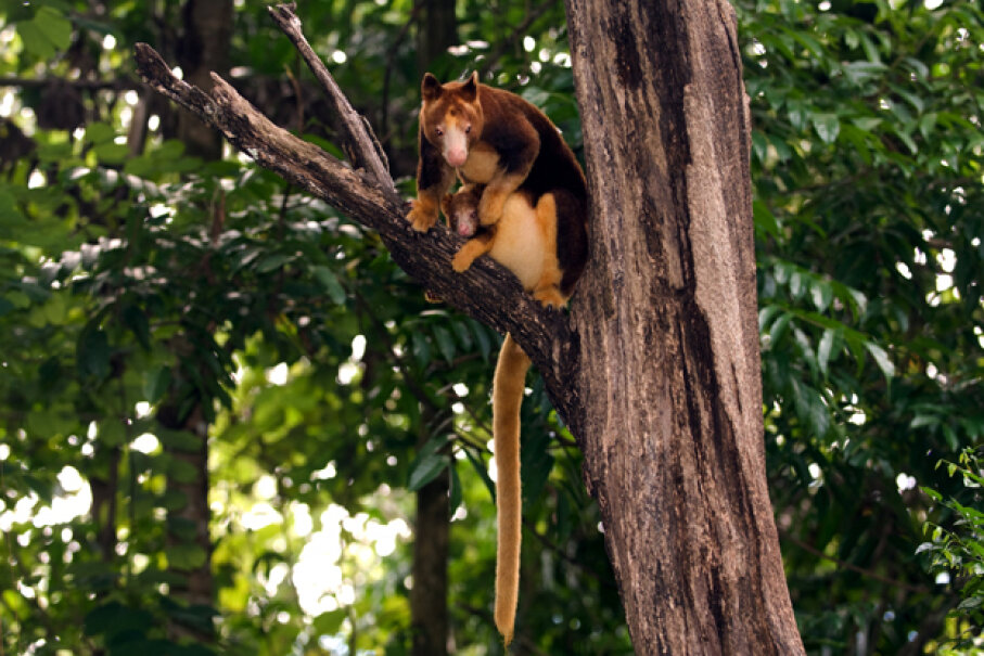 The dingiso is a close relative of this tree kangaroo (shown with her joey) in Indonesia. iStock/Thinkstock