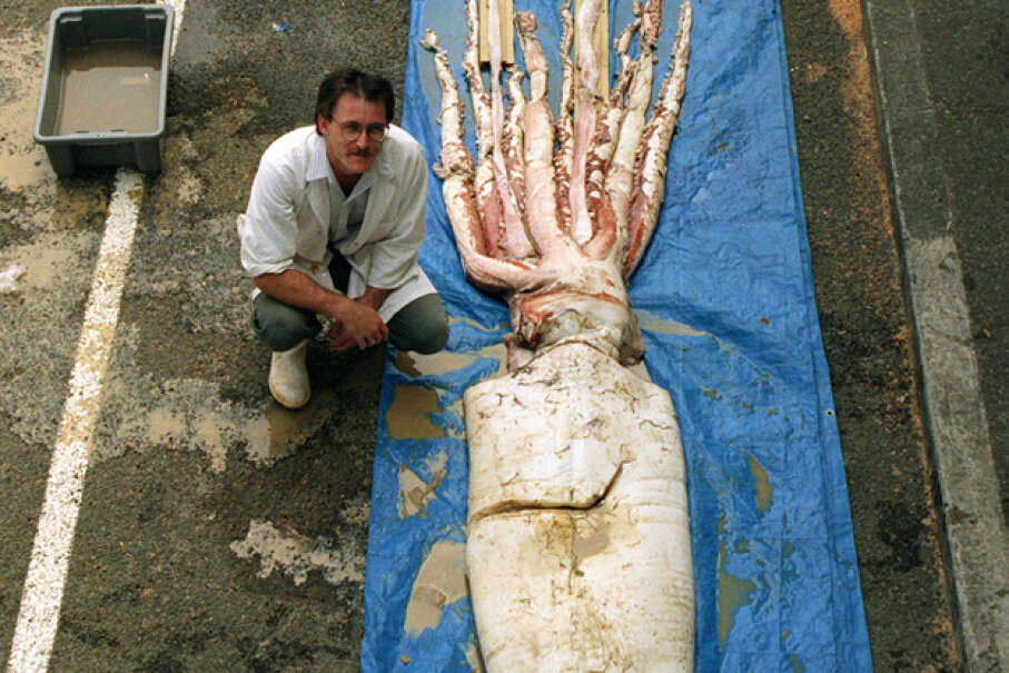 A giant squid, caught off the coast of New Zealand, is displayed at the Wellington dockside. Barry Durrant/Getty Images