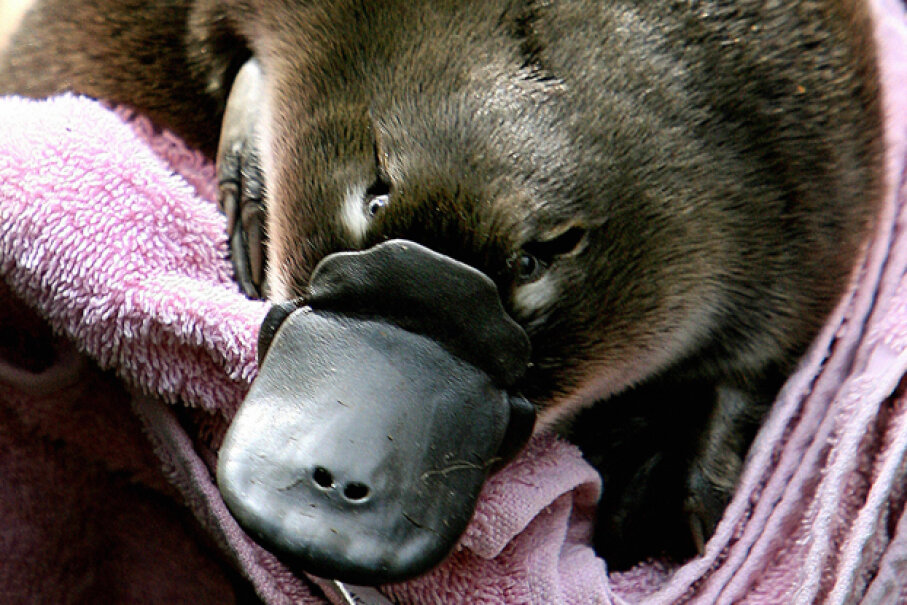 "A Platypus baby or ""puggle"" is held before being transferred back to its burrow at Sydney's Taronga Zoo. The platypus is one of only two mammals that lays eggs. GREG WOOD/AFP/Getty Images"
