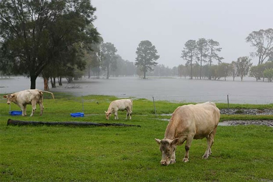 Cows lie down when it rains, right? So why are these cows standing up? Is this just a myth? Chris Hyde/Getty Images