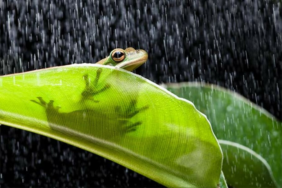When rain's a-comin', frogs get a-courtin'. That's why they croak so much more. Studio-Annika/iStock/Thinkstock