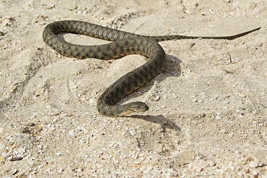 Snakes can sense earthquakes immediately before they occur. But what about days in advance? ArendTrent/iStock/Thinkstock