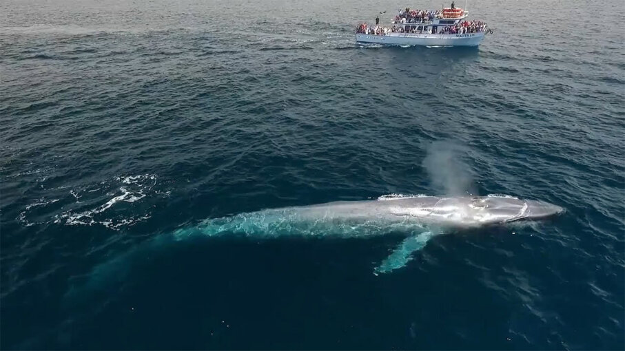 The Blue Whale: Bigger Than Megalodon