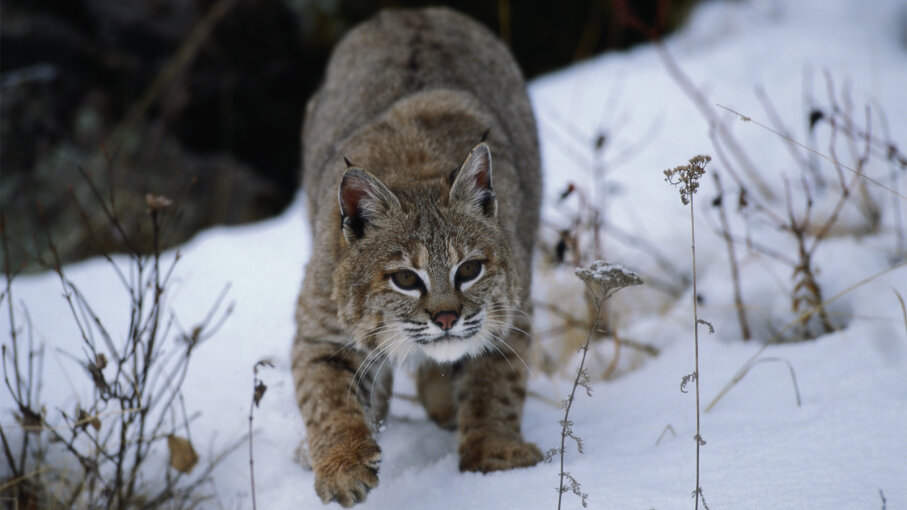Bobcats Are Back From the Brink (and Possibly in Your Backyard)