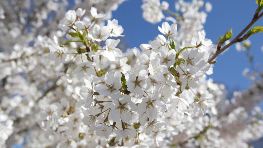 Bradford pear, smelly