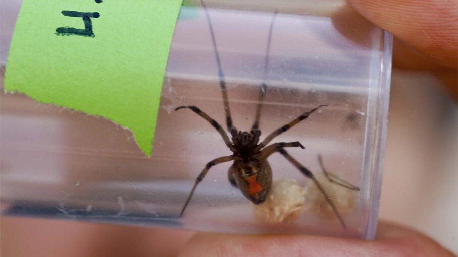 brown widow, spider