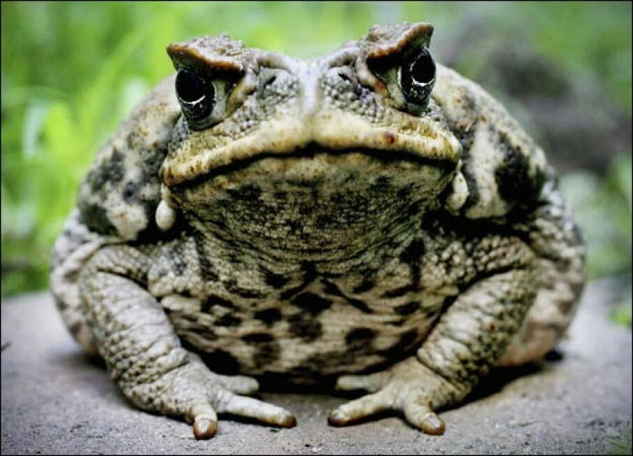 Cane Toad Getty Images