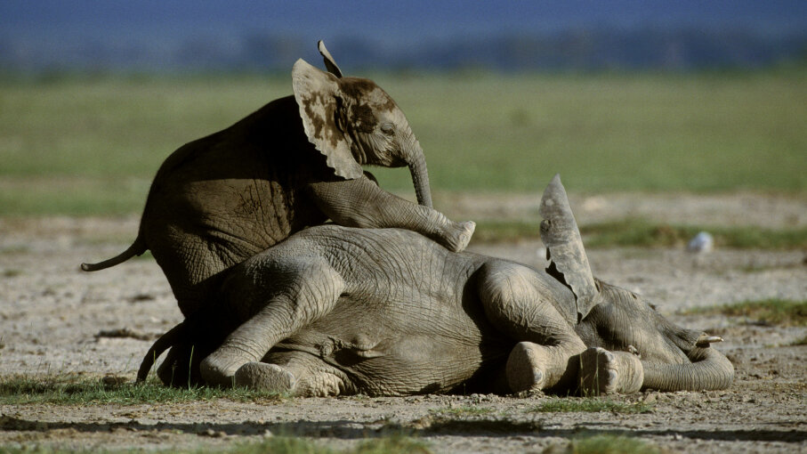 Elephants are another flagship species that has become a symbol of protecting African wildlife and habitat. Auscape/Getty Images