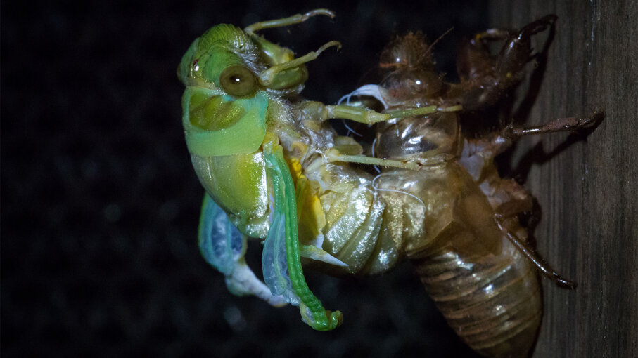 A Greengrocer cicada (cyclochila australasian) stretches its wings after breaking out of its exoskeleton. It is Australia's most recognized and loudest insect.  Brad Leue/Barcroft Media/Getty Images