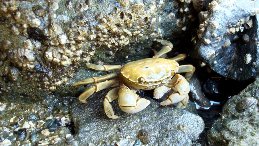 A new study conducted in the Pacific Northwest examines how drugs are making their way into the ecosystem, affecting animals like the yellow shore crab (Hemigrapsus oregonensis). Alison Leigh Lilly/Flickr/CC BY-NC 2.0