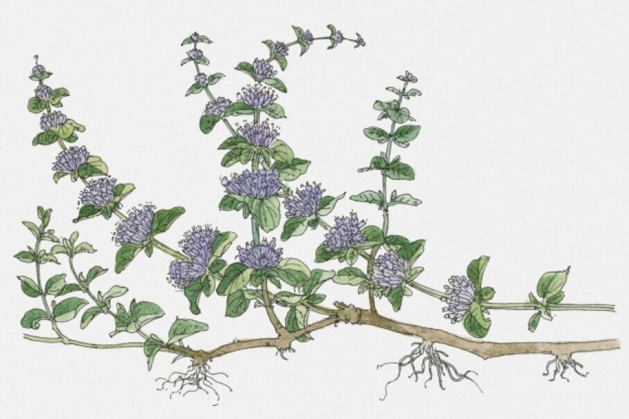 Pennyroyal was just as likely to kill its user as it was to terminate a pregnancy. © Dorling Kindersley/Thinkstock