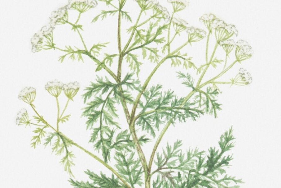 Hemlock is said to have decreased libido when applied to a man's testacles. It probably also killed the mood.  © Valerie Price/Thinkstock