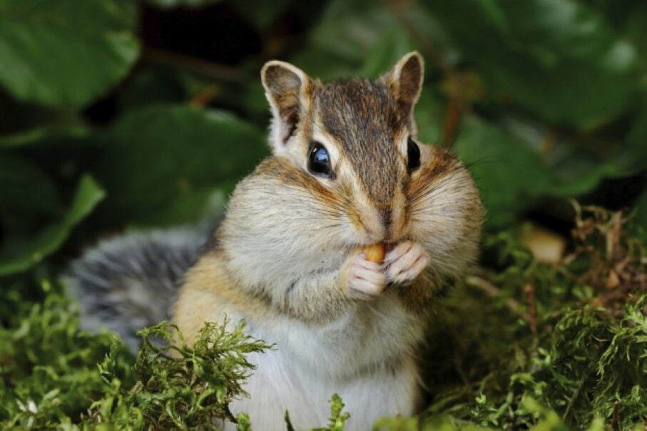 Rugosodon eurasiaticus was about the size of the chipmunk, but was it as cute? legna69/iStock/Thinkstock