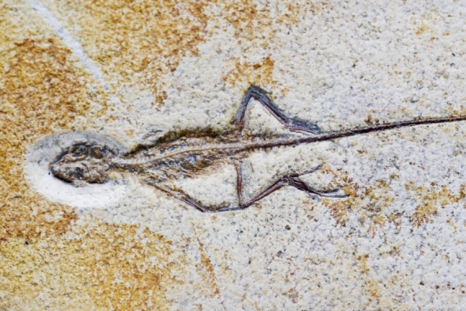 This little lizard fossil (Homeosaurus maximiliani) turned up in the Solnhofen Limestone Formation at Rupertsbuch, Germany. © Naturfoto Honal/Corbis