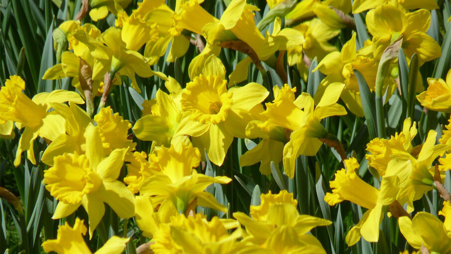 Delightful Daffodils Are Super Easy To Grow Here S How