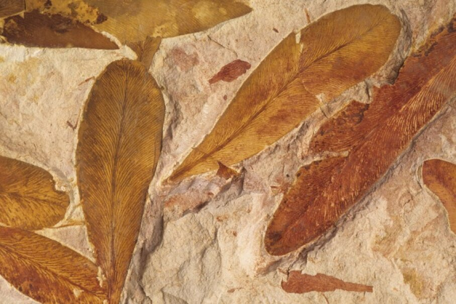 These fossilized Australian Glossopteris leaves are the same ones found on Antarctica.  Wild Horizons/UIG via Getty Images