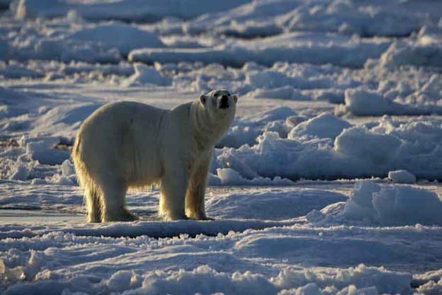 An increasing polar bear population is not necessarily a sign that global warming is a hoax. pum_eva/iStock/Thinkstock