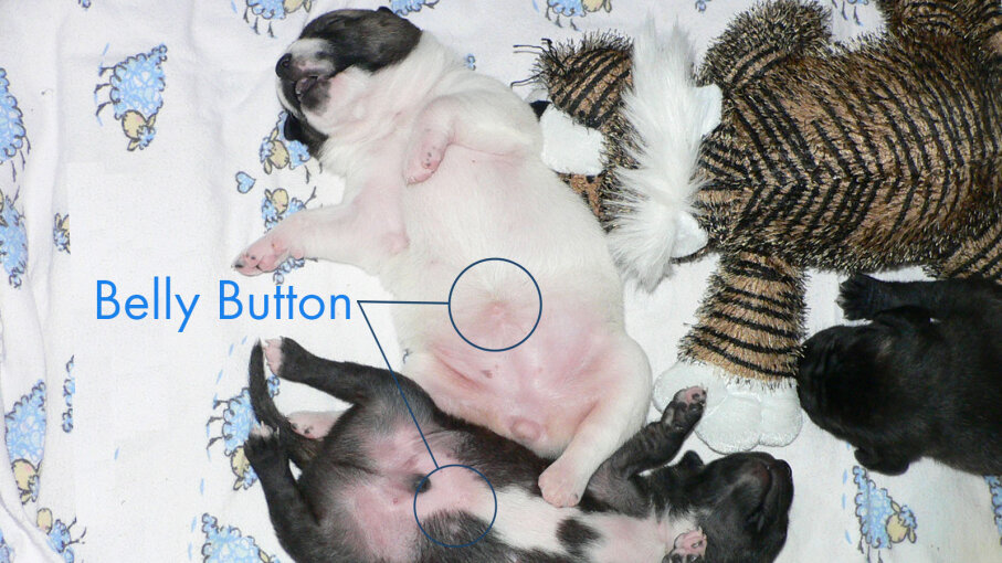 puppy bellies