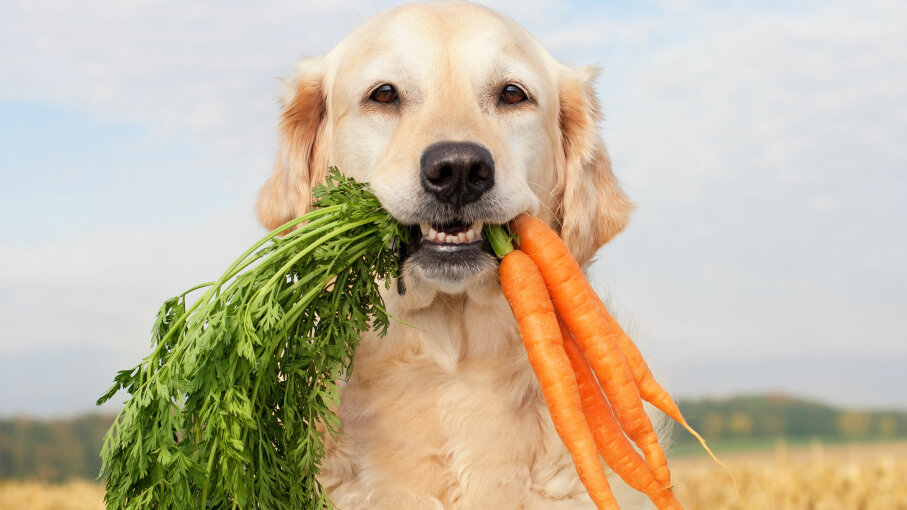 A golden retriever poses with carrots.