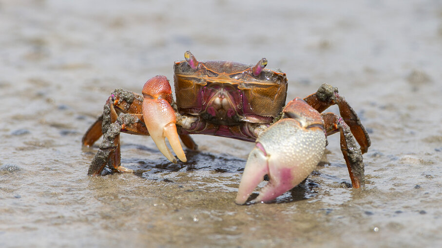 Burrowing crab