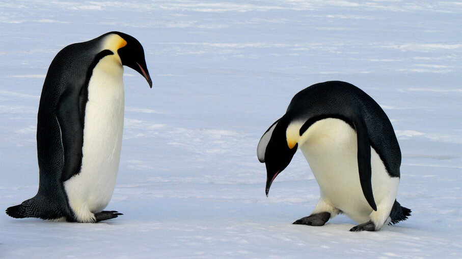 Emperor penguins, feet
