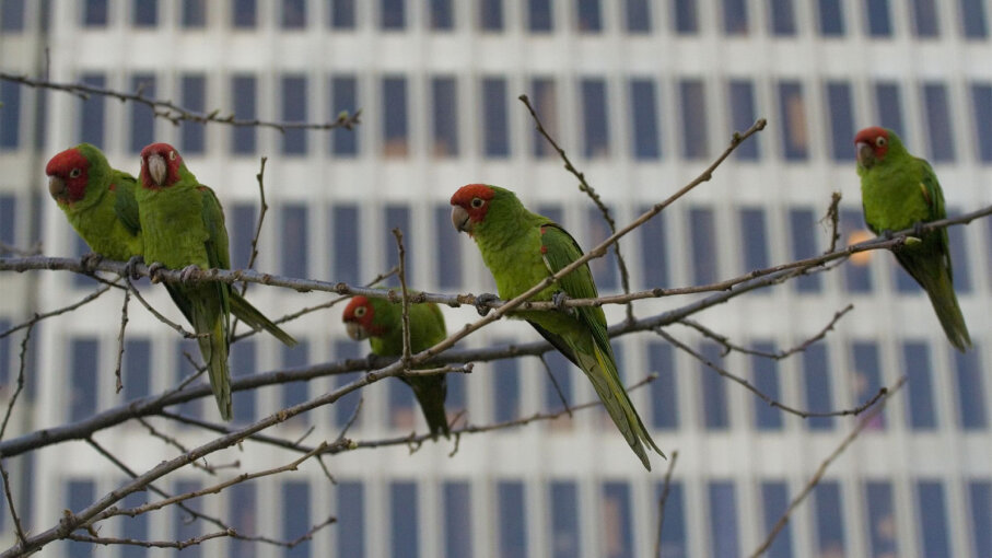 wild, parrots