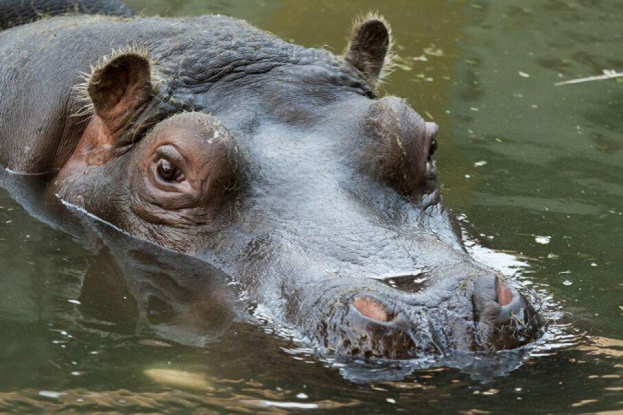 "Imagine spying that ""lake cow"" in the Louisiana bayous. patrisyu/iStock/Thinkstock"