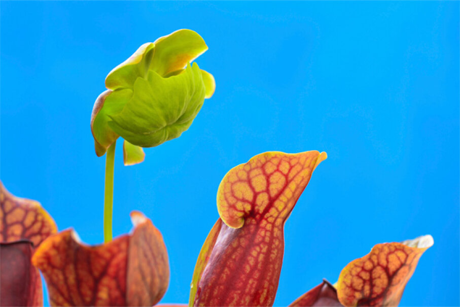 Nature, in this case pitcher plants, proves to be the inspiration of science once again. Scientists have been studying the carnivorous plants, hoping to replicate their slippery surfaces. iStockphoto/Thinkstock