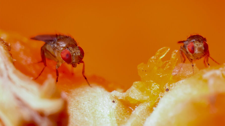 Fruit Flies The Science Superstars You Want Gone From Your