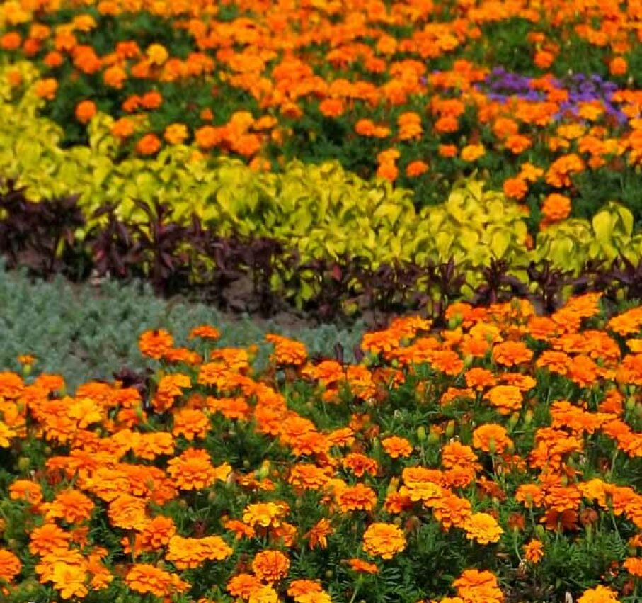 An annuals garden is full of flowers all season long. See more pictures of annual flowers.