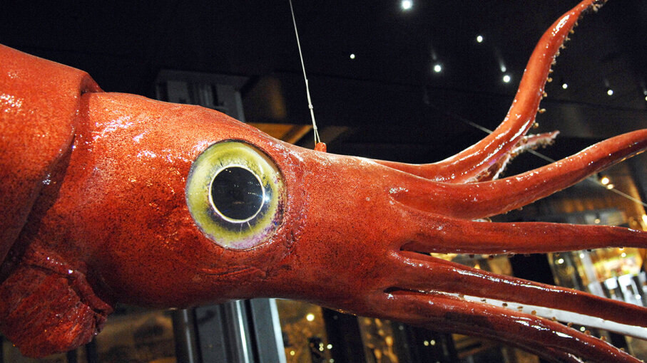 A giant squid (Architeuthis dux) on display at the National Museum of Natural History in Paris, France, in 2008 was the first ever to be plastinated, a preservation process that dehydrated the cephalopod and replaced all liquids in its body with special plastic resin. Stephane de Sakutin/AFP/Getty Images