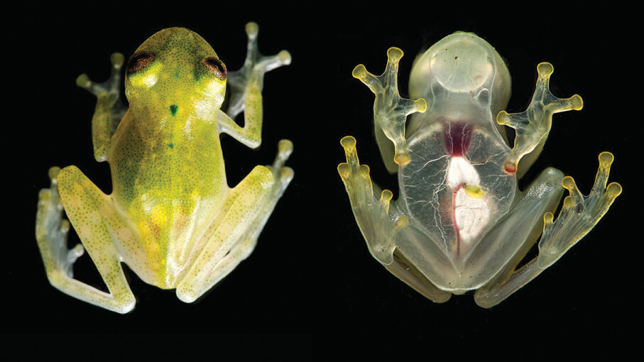 Although there are many species of glass frogs with transparent skin, not many have visible, red hearts like Hyalinobatrachium yaku, seen here. Juan M. Guayasamin et al.