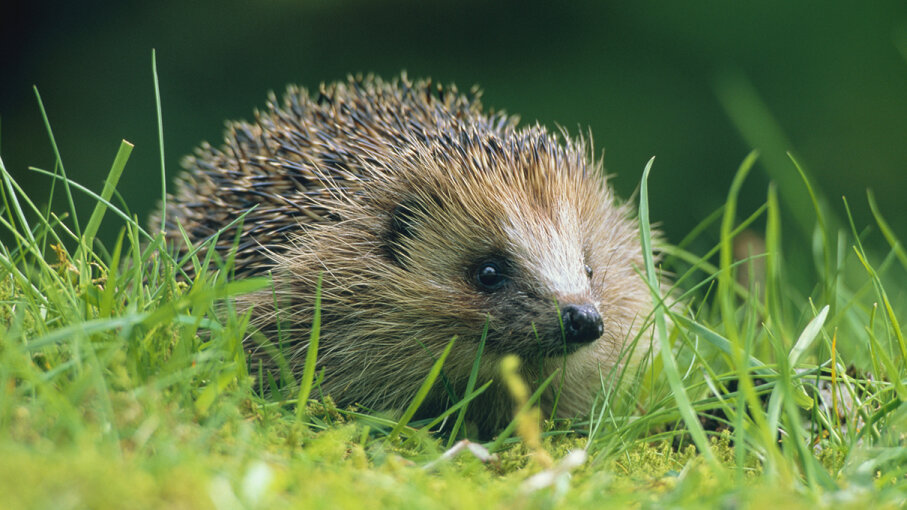A European hedgehog (Erinaceus europaeus) munches grass in the Scottish countryside Nature Picture Library/Getty Images